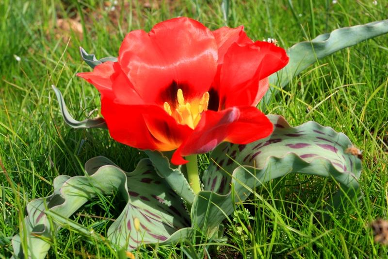 фото тюльпан грейга