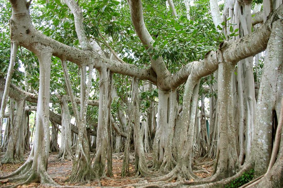 Где растут шагающие деревья?.